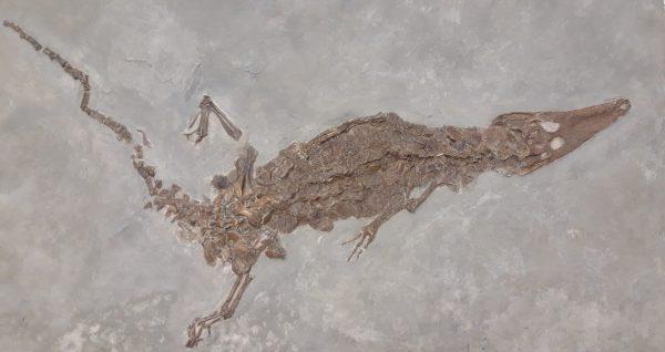 Vilniaus universiteto Geologijos muziejuje – 15 milijonų metų senumo krokodilo fosilija