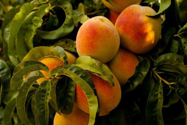 Amžina dilema – kaip atskirti persiką ir nektariną