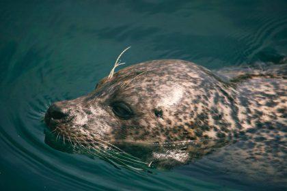 Reikalinga pagalba Baltijos jūros ruoniams: prisidėti gali kiekvienas