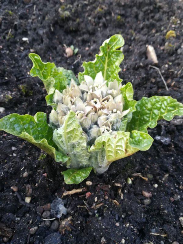 Pražydo itin toksiškas Hario Poterio knygoje minimas augalas