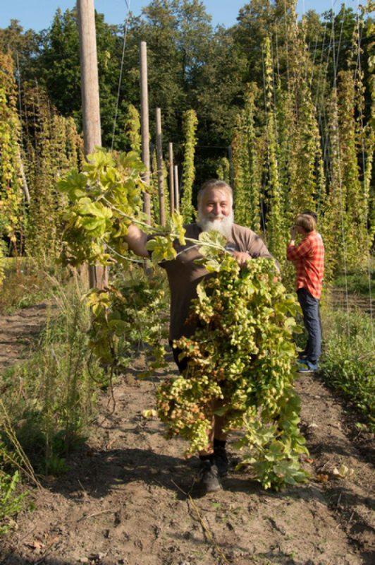Įrodo praktiškai: apyniai Lietuvoje puikiai auga ir gali būti auginami alaus gamybai