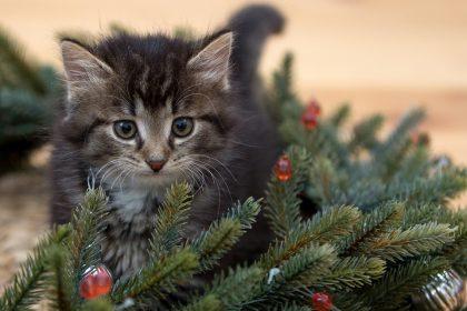 Gyvos Kalėdinės eglutės vazonuose   – kur ir kodėl jas verta įsigyti?
