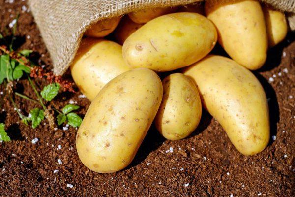 Bulvių augintojas apie praėjusius rekordinius šalčius: tai turėtų daryti įtaką ir būsimam derliui