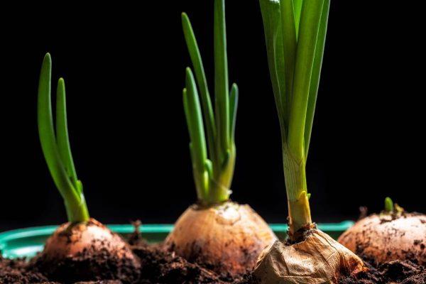 Palangių daržininkystė prasideda nuo namuose žaliuojančių svogūnų laiškų