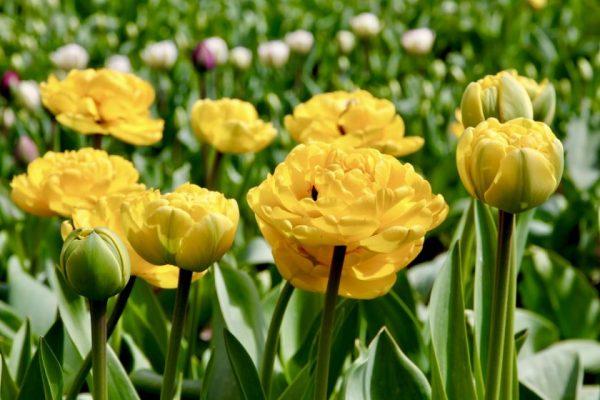 Šiltą savaitę – gausiausias tulpių žydėjimas VDU Botanikos sode Kaune